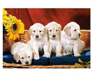 Castorland Puppies With Sunflower