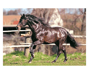 Image of Castorland Andalusian Horse