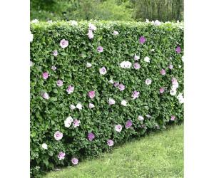 baldur garten hibiskus hecke 40 60cm 10 pflanzen ab 24. Black Bedroom Furniture Sets. Home Design Ideas