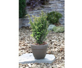 Eibe Germers Gold 20-25cm Taxus baccata